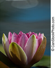 Water Lily in the Pond - Nymphaea 'Sirius' Water Lily. Named...