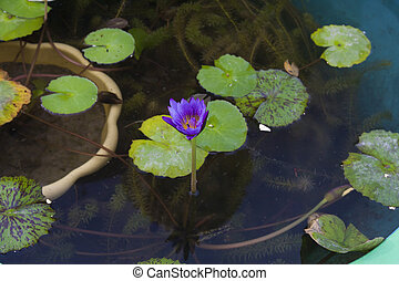 Water-lily in water