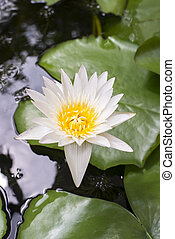 Water lily is blooming and surrounded with green leaves