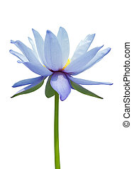 Water lily isolated on white