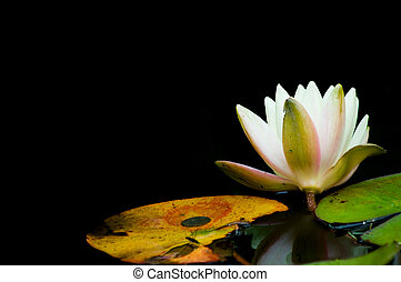 Water lily - Japanese garden in Golden Gate park, San ...