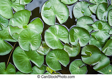 water lily leaves on pond