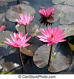 Water lily lotus flower and leaves