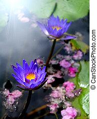 water lily, lotus