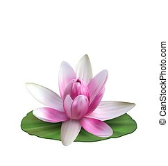 Water Lily, Nenuphar, Spatter-dock, Pink Lotus on Green Leaf. Flower Isolated on White Background - Illustration Vector