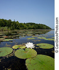 Water Lily on Northern Lake