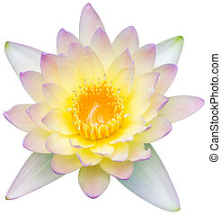 Water lily or lotus flower - Close up orange color blooming...