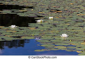 water lily pad pond