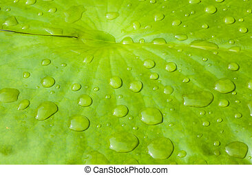 Water Lily pad - Rainy drop on the green water lily pad