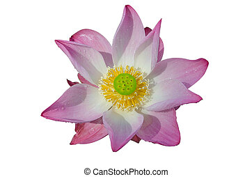 water lily pink in isolated white