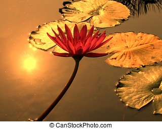 Water Lily Pond - -- illuminated by the setting sun