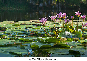 Water lily pond. - Water liilies in pond