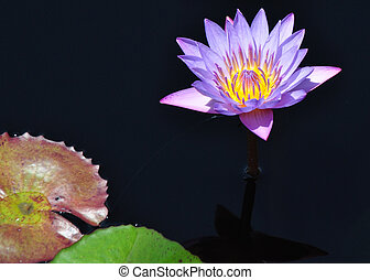 Water Lily - Purple 2