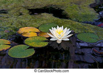 Water Lily - Single water lily in Koi pond.