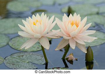 Water lily sisters