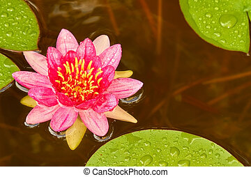 water lily - A red water lily floats on the water between...