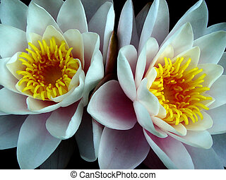 water lily twins - flowers in a pond