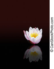 Bright water lily with dark background