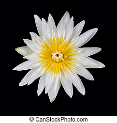 water lily white in isolated black