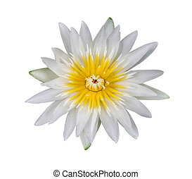 water lily white in isolated white