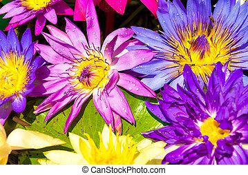 Water lotus nelumbo flowers, colorful lotus lily in water ...