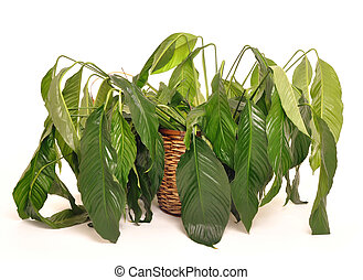 Wilted houseplant in need of water