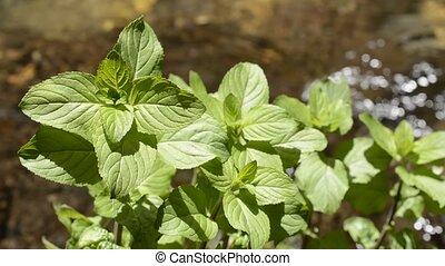 Water mint at waterside - Water mint plants beside the...