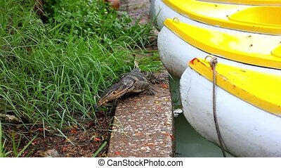 Water monitor in green park at boats, Bangkok, Thailand -...