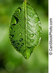 clear water drops on a delicate green leaf