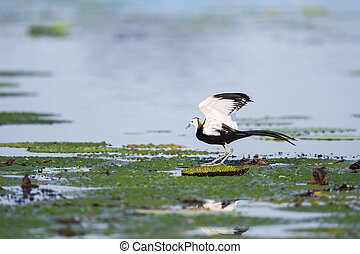 water pheasant bird standing on the floating leaf plant, pheasant-tailed jacana