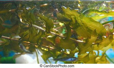 Water plant rdest in the aquarium. Potamogeton perfoliatus