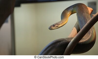 Water python snake or brown water python. Liasis fuscus species, is an Australian non-venomous snake. Pythonidae snakes family. Living Australia and Papua New Guinea. and kept as pets in terrariums.