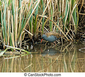 Water Rail - Elusive Water Rail at edge of reedbed