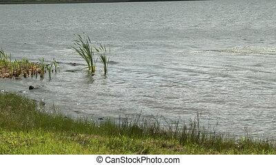 Water Rippling Towards Bank - Handheld, medium close up shot...