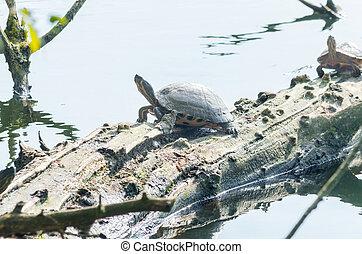 water, schildpad, (chrysemys, picta)
