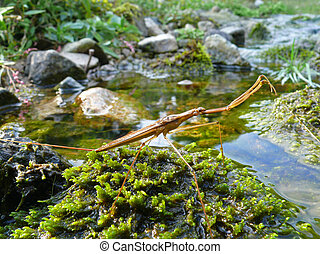 Water-scorpion 2