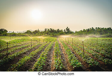 Water sprinkler system working in a green vegetable garden at sunset. Seclective focus