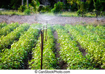 Water sprinkler system working in a green vegetable garden at sunset. Selective focus