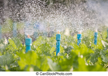 Water sprinkler system working in a vegetable garden.