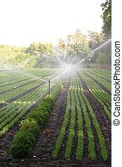 Water sprinkler system working on a nursery plantation