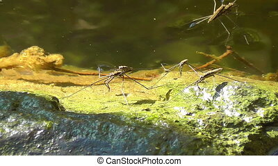 Water striders - Gerridae - mating - Water striders -...