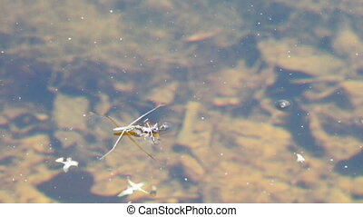 Water striders on water eating spider.