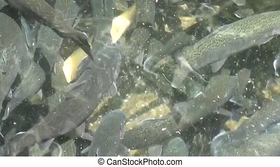 Water teeming with trout 3 - Water teeming with brown trout,...