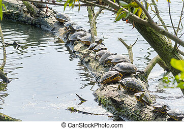 Water turtle (Chrysemys picta)