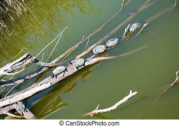 water turtles in the sun