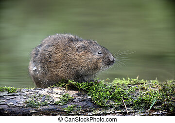 Water vole, Arvicola terrestris, Kent, August 2009...