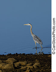 Water wader - Great Blue Heron wading in the shallow water...