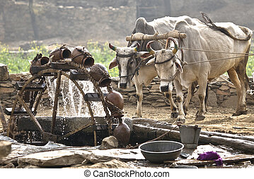 Water wheel powered by cattle - Water wheel drawing water...