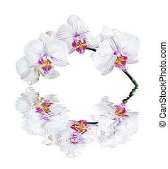 water, witte , weerspiegelde, orchidee