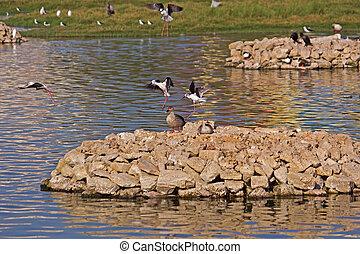 Waterbirds in Porbandar bird sanctuary - Spot-billed ducks (...